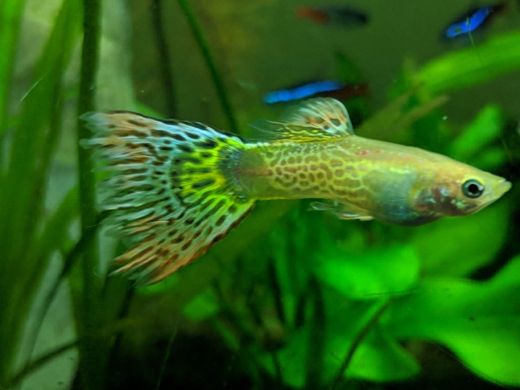 Yellow Snakeskin Male Guppy