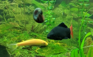 Golden Algae Eater & Red Tailed Shark