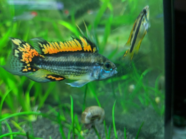 Male & female apistogramma