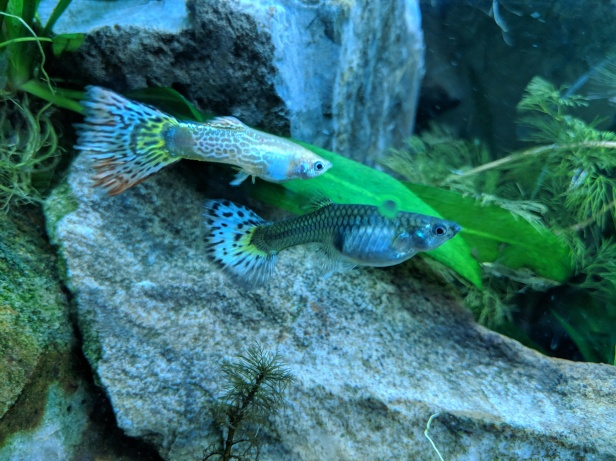 Male & Female Guppy