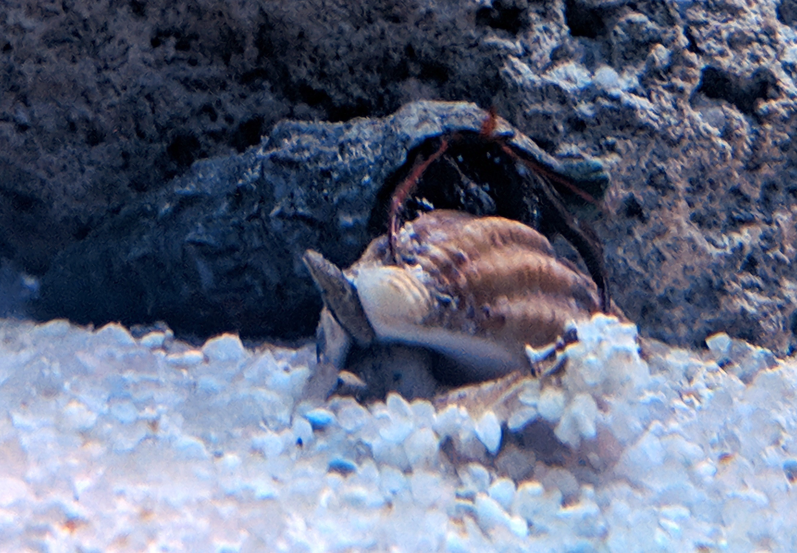 Nassarius Snail and Hermit Crab