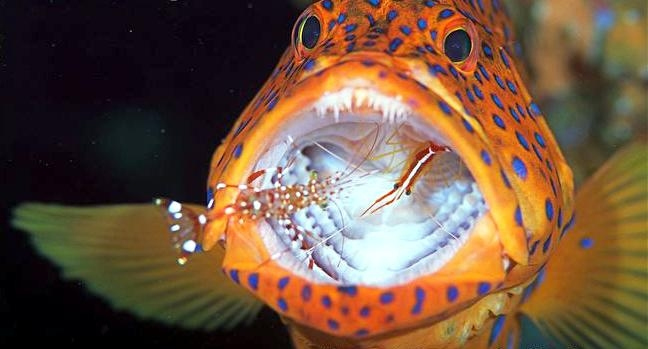Cleaner Shrimp Inside Fish Mouth