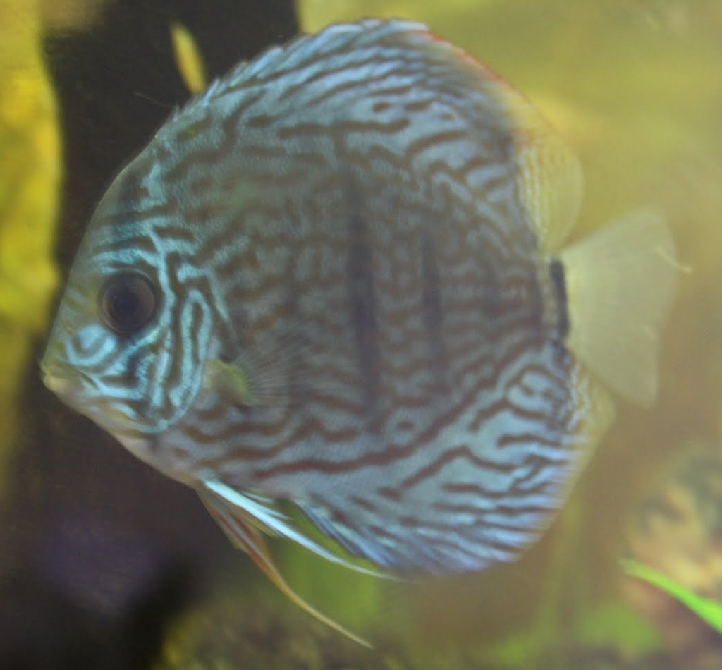 Female Discus