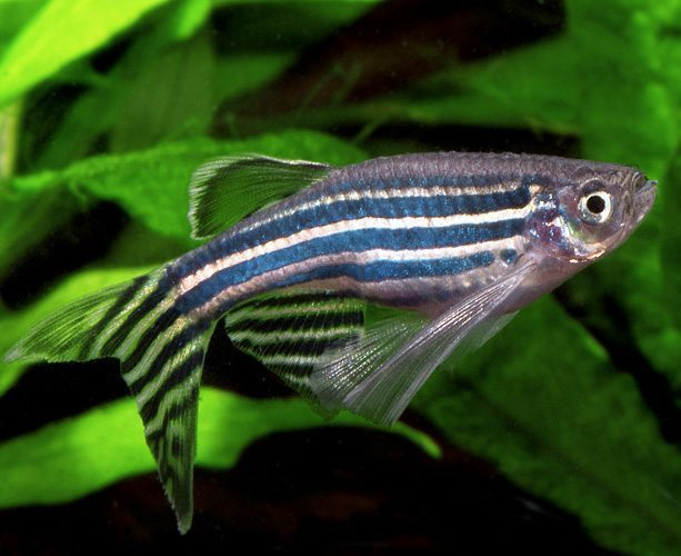 Long Finned Zebra Danio