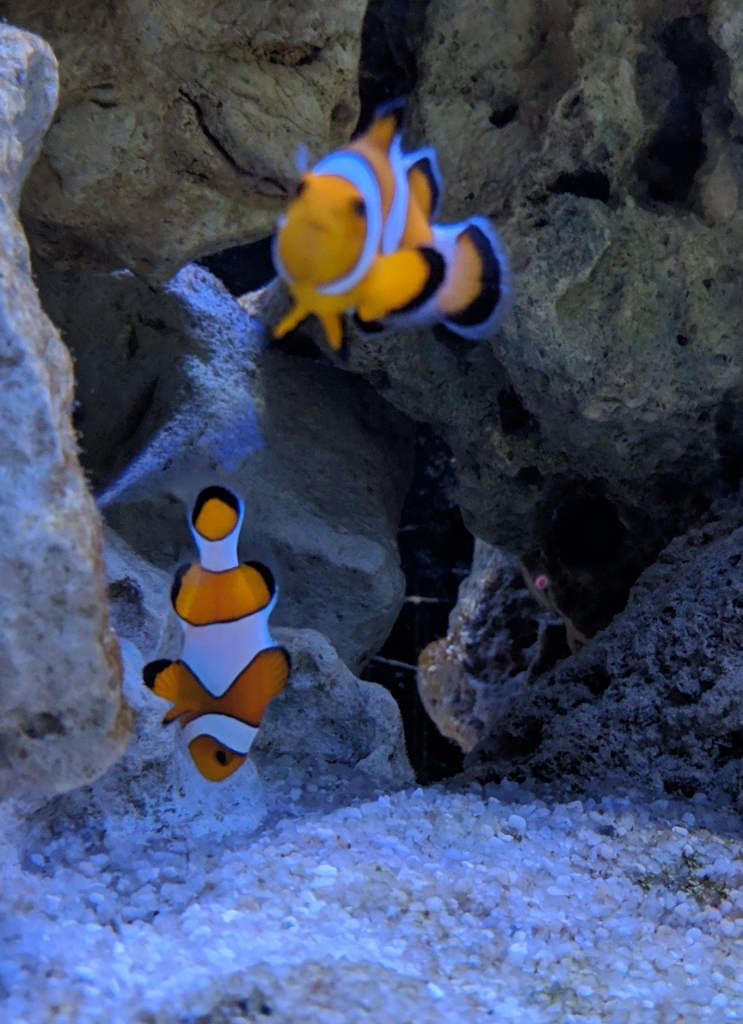Strange Clownfish Behaviour