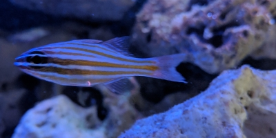 Striped Cardinalfish
