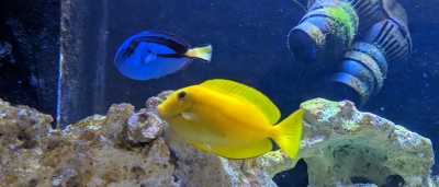 Tangs in an Aquarium
