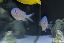 Pair of Blue-Green Chromis