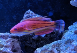 Pink Flasher Wrasse