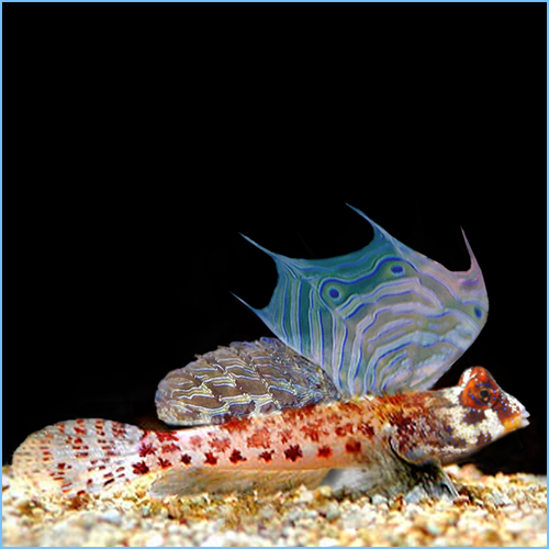 Male Scooter Blenny