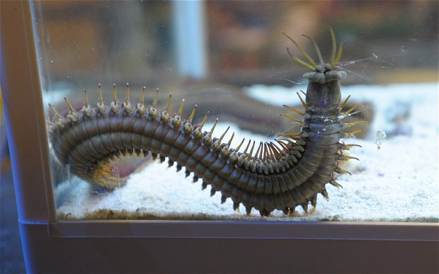 Giant Bobbit Worm
