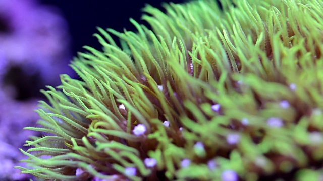 Green Star Polyp coral in home aquarium.