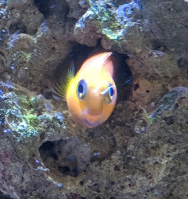 Midas Blenny in hole
