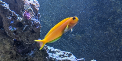 Midas Blenny - Gold Blenny