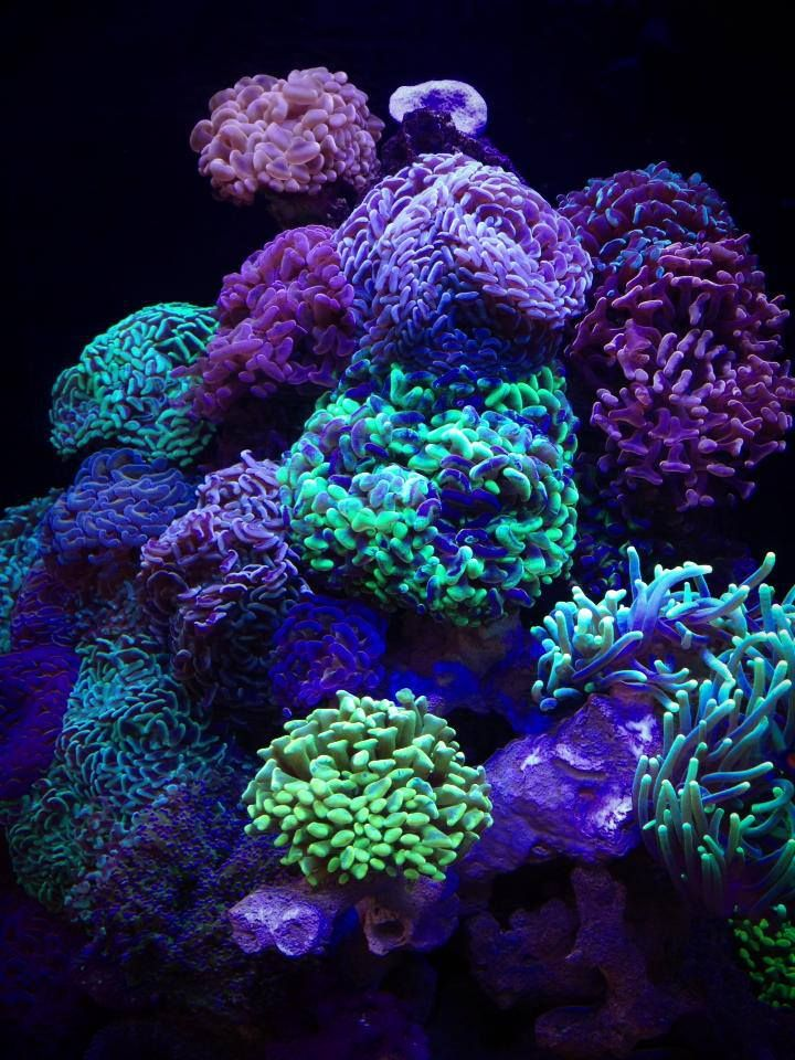 Hammer Coral Colour Variety