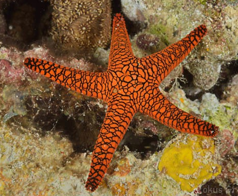 Adult Black Tip Fromia Starfish