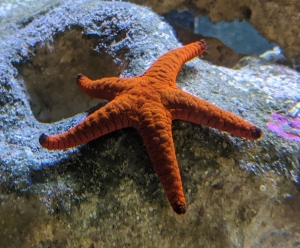 Juvenile Black Tip Fromia Starfish