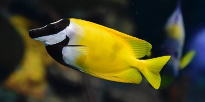 Foxface Rabbitfish
