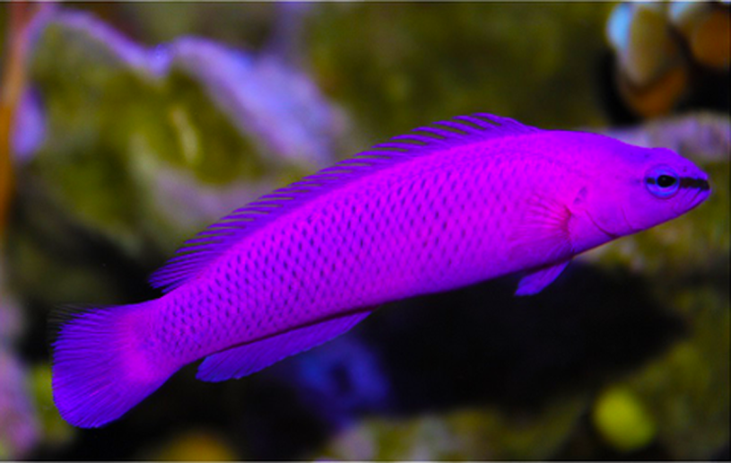 Orchid Fish