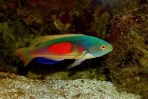 Scotts Fairy Wrasse