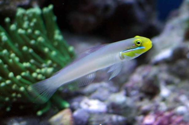 Gold Headed Sleeper Goby