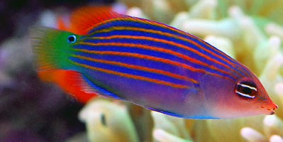 Six Stripe Wrasse