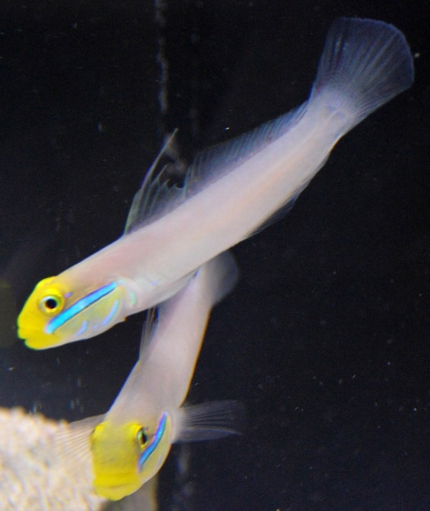 Sleeper Goby Pair