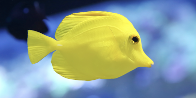 Pacific Yellow Tang