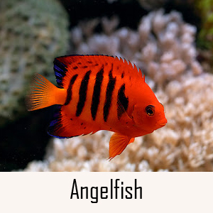Angelfish Category