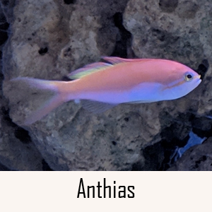 Anthias Category