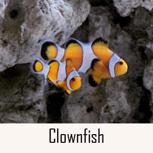 Clownfish Category