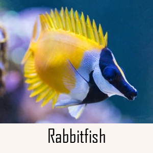 Rabbitfish Category