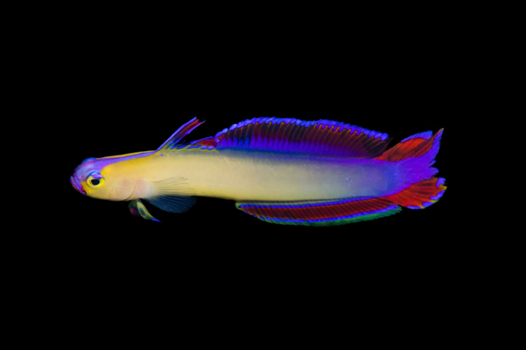 Exquisite Firefish Goby