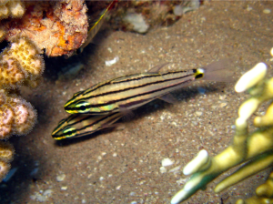 Five Lined Cardinalfish