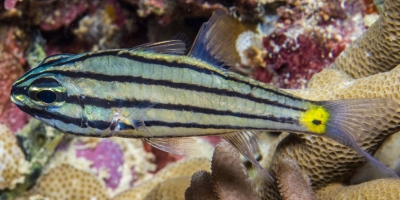 Five-Lined Cardinalfish
